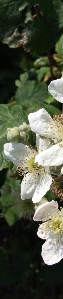Blackberries1